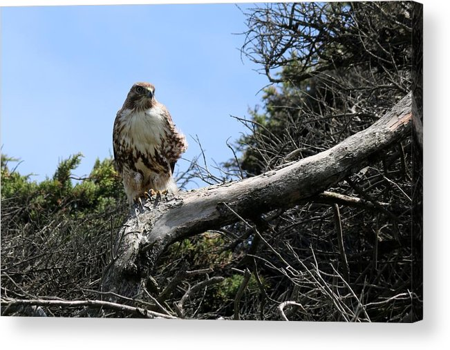 Red-tailed Hawk Acrylic Print featuring the photograph Hawk's Perch by Christy Pooschke