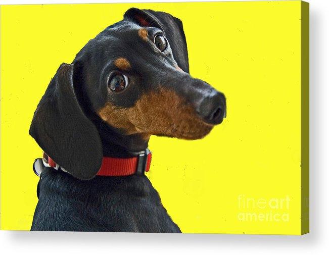 Dog Acrylic Print featuring the photograph Headshot Of Dacshund by Allan Einhorn