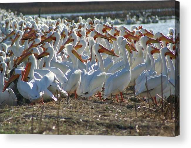 Pelicans Acrylic Print featuring the photograph Herd Of Pelicans by Shari Morehead