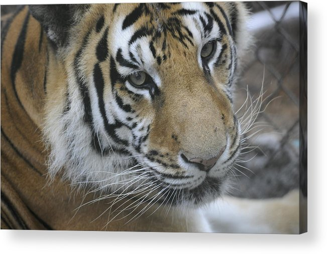 Tiger Acrylic Print featuring the photograph Here Kitty Kitty by Keith Lovejoy
