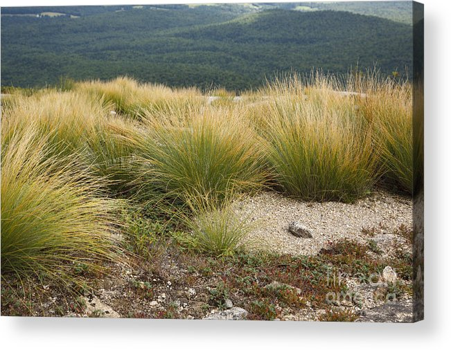 Subalpine Dwarf Shrubland Acrylic Print featuring the photograph Highland Rush - White Mountains New Hampshire Usa by Erin Paul Donovan