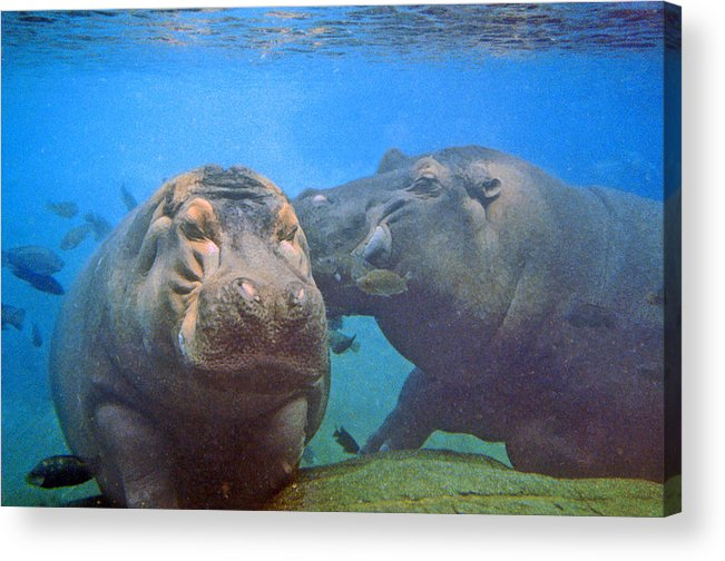 Animals Acrylic Print featuring the photograph Hippos In Love by Steve Karol