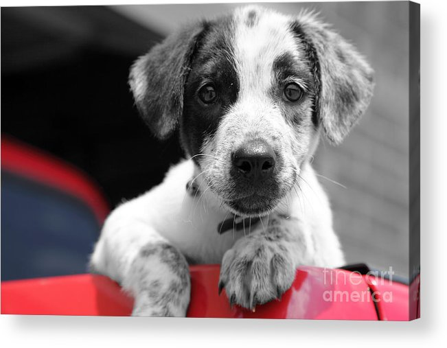 Dogs Acrylic Print featuring the photograph Hmmm by Amanda Barcon