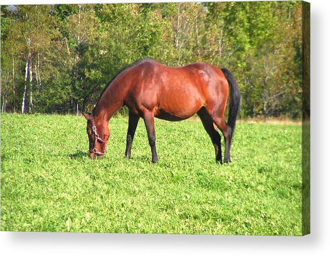 Photography Acrylic Print featuring the photograph Horse by Katina Cote