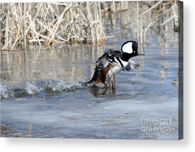 Hodded Acrylic Print featuring the photograph How About A Danece by Lori Tordsen