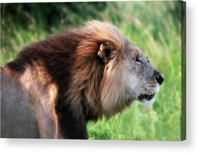 Lion Acrylic Print featuring the photograph Hunter - Chasseur by Michel Legare