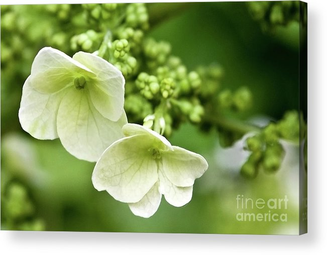 Angelini Acrylic Print featuring the photograph Hydrangea Buds Visit Www.angeliniphoto.com For More by Mary Angelini