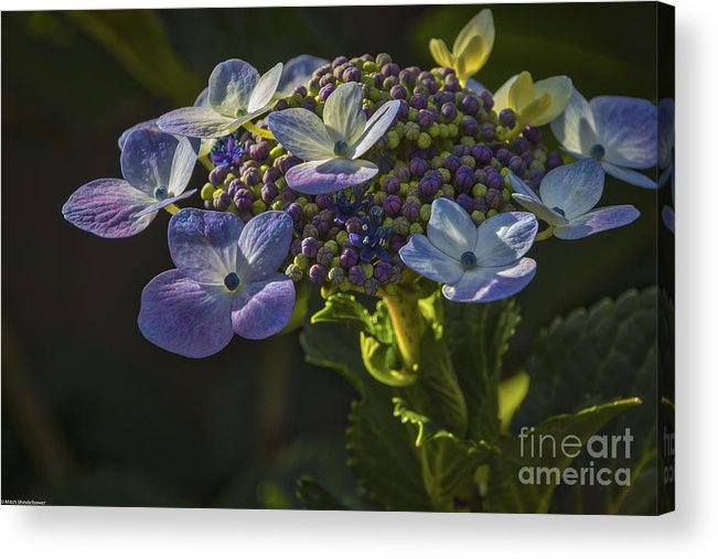 Hydrangea Color Acrylic Print featuring the photograph Hydrangea Color by Mitch Shindelbower