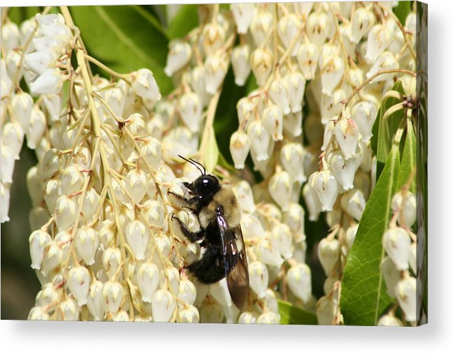 Honey Acrylic Print featuring the photograph I Work So Hard For The Honey by Paul SEQUENCE Ferguson       sequence dot net