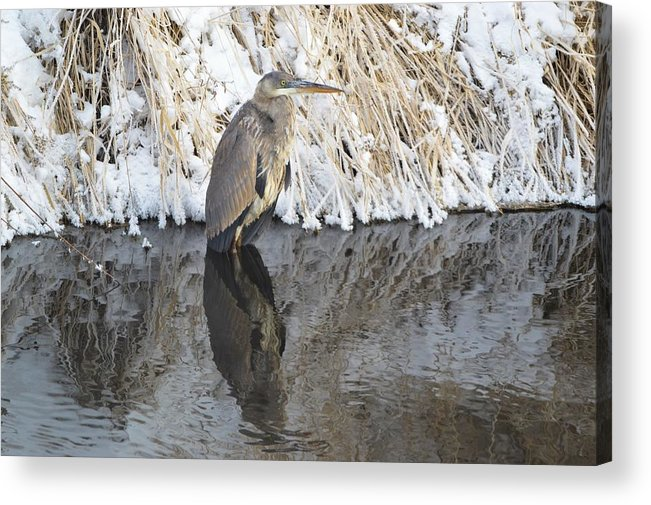 Winter Acrylic Print featuring the photograph Iced Heron by Bonfire Photography