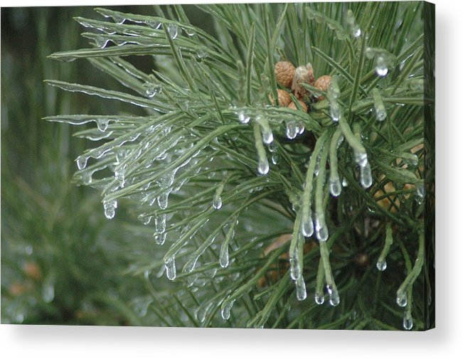 Nature Acrylic Print featuring the photograph Iced Pine by Kathy Schumann