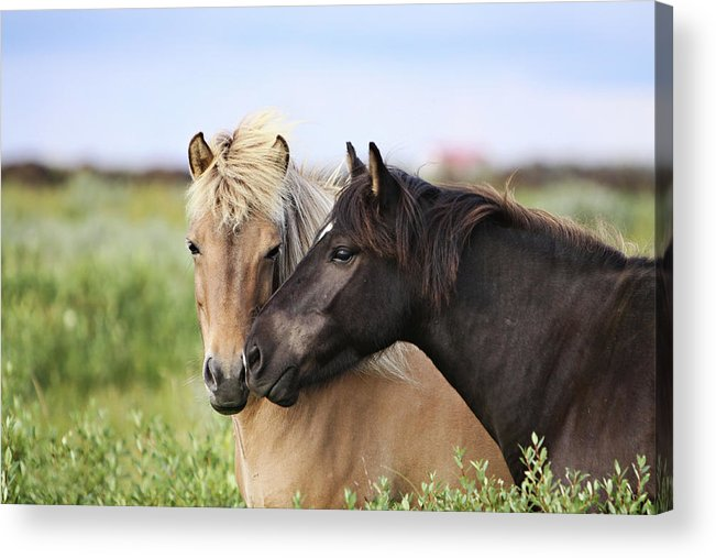Horizontal Acrylic Print featuring the photograph Icelandic Horse by Gigja Einarsdottir