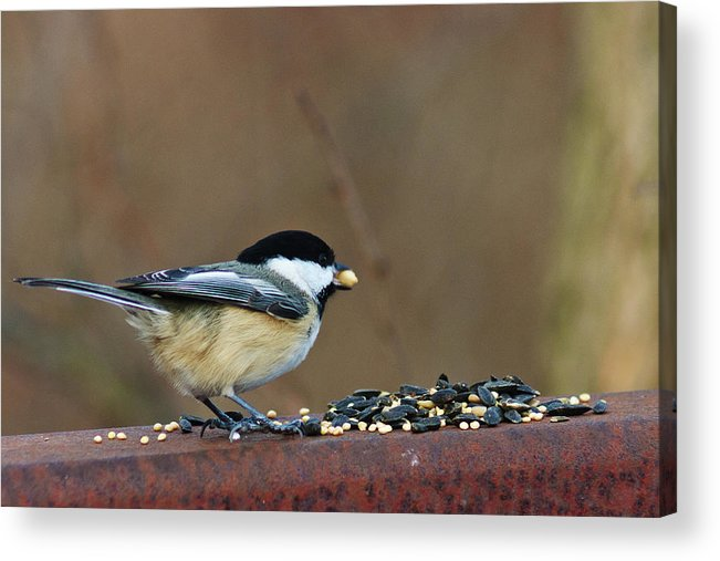 Chickadee Acrylic Print featuring the digital art I'll Take This One by Nikki Nisly