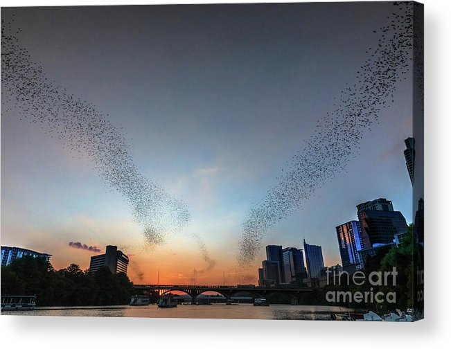 Austin Bats Cityscape Acrylic Print featuring the photograph In Austin Streams Of Mexican Freetailed Bats The Worlds Largest Urban Bat Colony Take To The Skies During Sunset by Austin Bat Tours