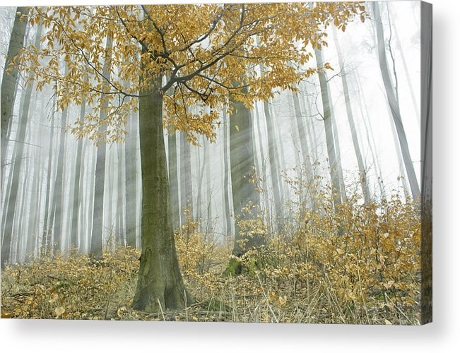 Mist Fog Forest Sun Acrylic Print featuring the photograph In Mist 1 by Michal Gulas