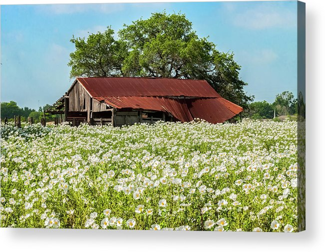 Abandoned Acrylic Print featuring the photograph Poppy Invasion In Hillcountry-texas by Usha Peddamatham
