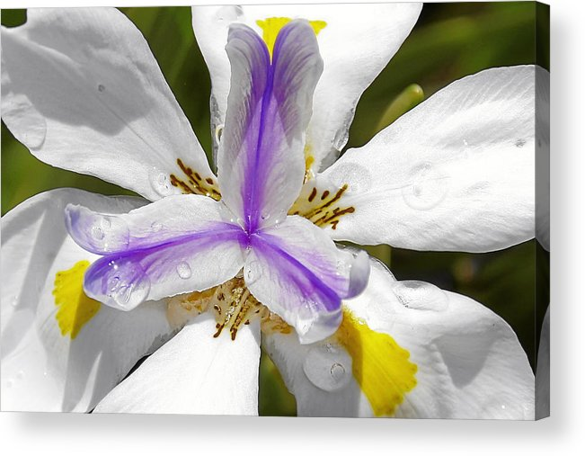 Flower Acrylic Print featuring the photograph Iris An Explosion Of Friendly Colors by Christine Till