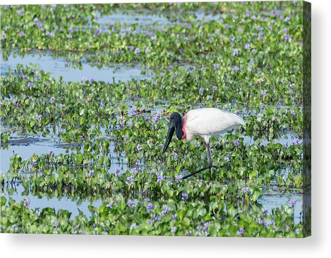 Brazil Acrylic Print featuring the photograph Jabiru by Mike Timmons