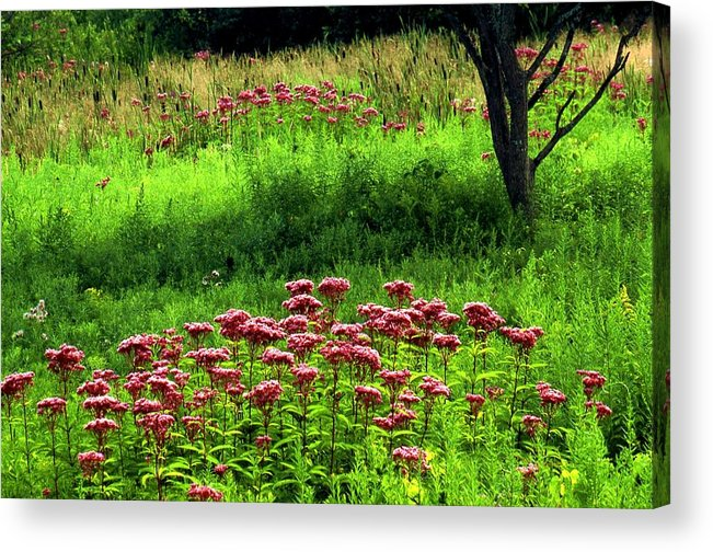 Wildflowers Acrylic Print featuring the photograph Joe Pye Weed by Roger Soule