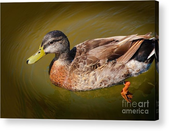 Duck Acrylic Print featuring the photograph Just Ducky by Pamela Blizzard