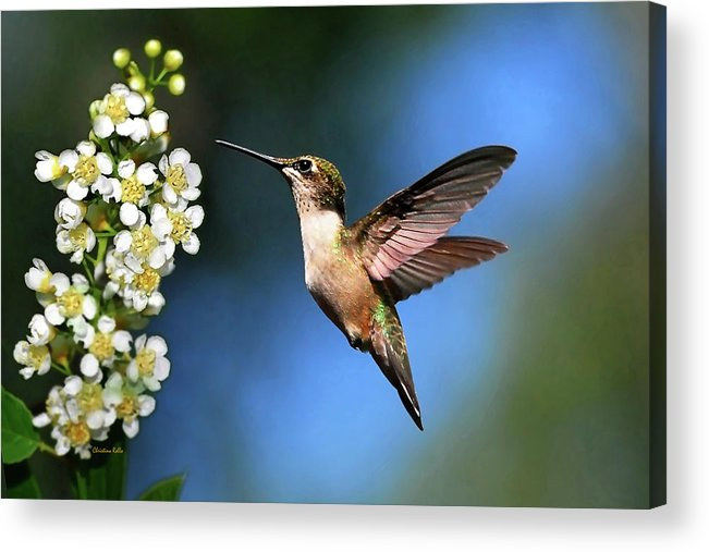 Hummingbird Acrylic Print featuring the photograph Just Looking by Christina Rollo