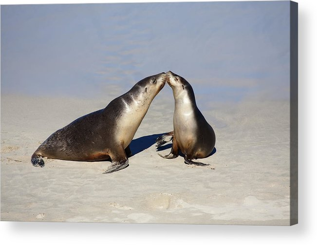 Sea Lion Acrylic Print featuring the photograph Kiss by Mike Dawson