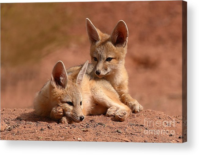 Fox Acrylic Print featuring the photograph Kit Fox Pups On A Lazy Day by Max Allen