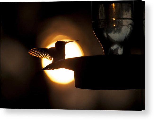 Humming Bird Acrylic Print featuring the photograph Last Sip At Sunset by Hollie Adams