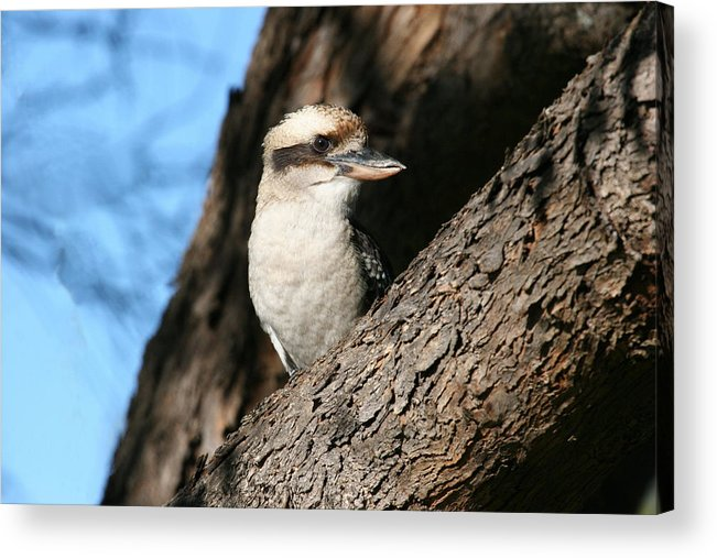 Kookaburra Acrylic Print featuring the photograph Laughing Kookaburra by Tony Brown