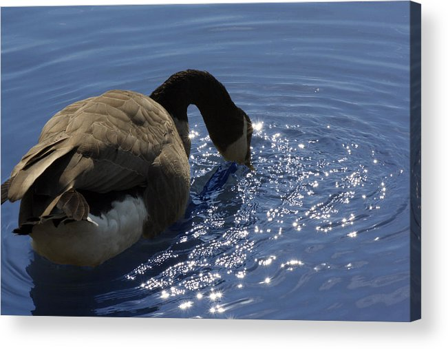 Canada Goose Acrylic Print featuring the photograph Leisure Time by Cathy Beharriell