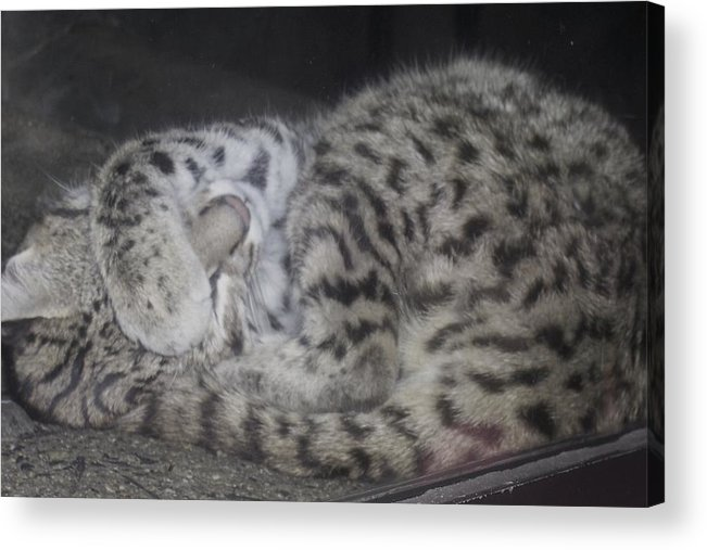 Cat Acrylic Print featuring the photograph Leopard Kitten by Misty VanPool