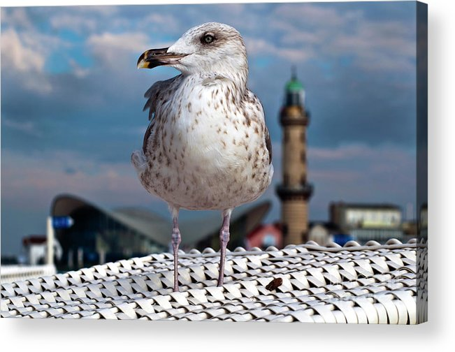 Pacific Gull Acrylic Print featuring the photograph Liberty Of An Pacific Gull by Silva Wischeropp