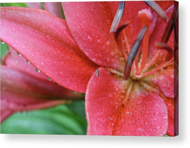 Flowers Acrylic Print featuring the painting Lily In Rain by Jessica Pope