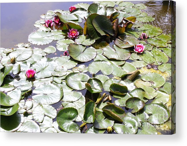Flowers Acrylic Print featuring the photograph Lily Pond by Samiksa Art
