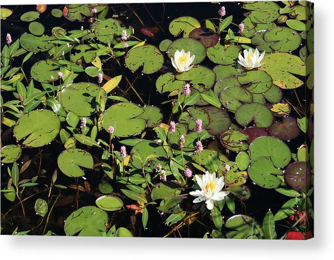 Lilypads Acrylic Print featuring the photograph Lily Worlds Two by Alan Rutherford