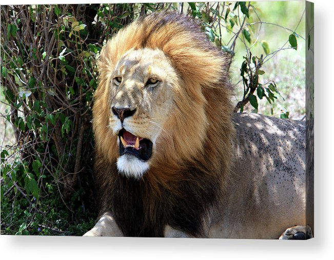 Africa Acrylic Print featuring the photograph Lions Of The Masai Mara, Kenya by Aidan Moran