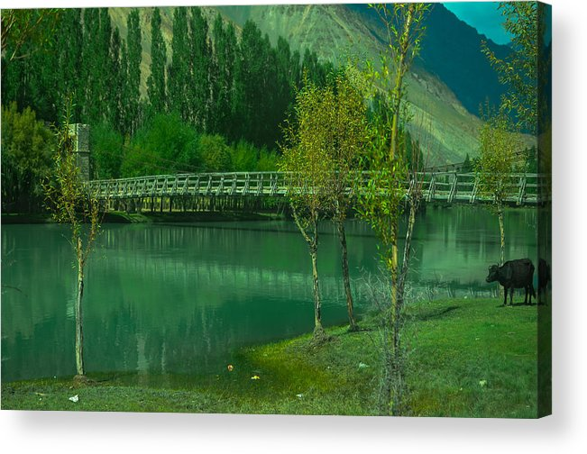 Nature Acrylic Print featuring the photograph Lonely Buffalo by Waqas Javed
