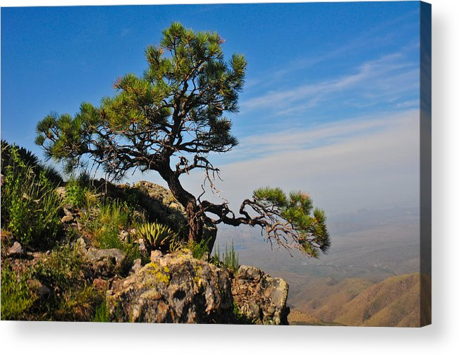 Pine Acrylic Print featuring the photograph Lonely Pine by Jacek Joniec