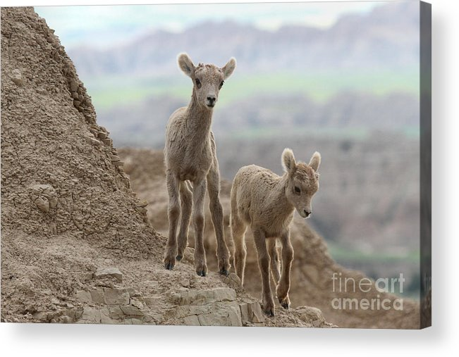 Big Horn Acrylic Print featuring the photograph Looking For A Way Down by Adam Jewell
