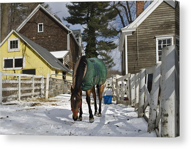Horse Acrylic Print featuring the photograph Looking For Stray Hay by Jack Goldberg