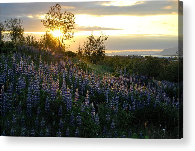 Lupine Acrylic Print featuring the photograph Lupine Sunset by Marilynne Bull