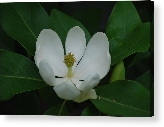Outdoors Acrylic Print featuring the photograph Magnolia Bloom by Michelle Williams