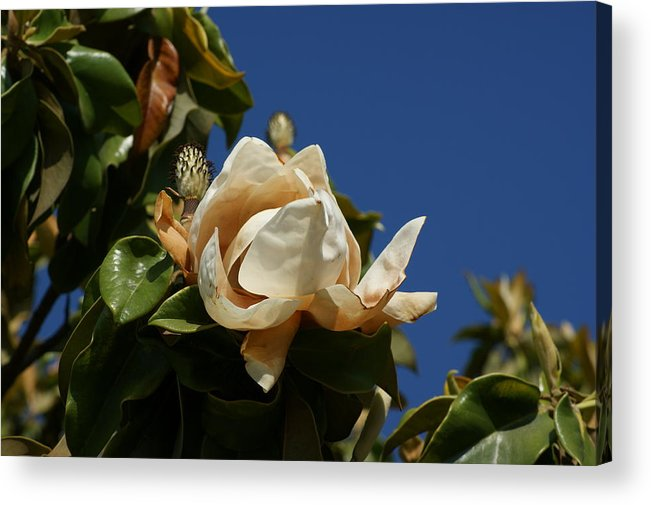 Magnolia Acrylic Print featuring the photograph Magnolia by Liz Vernand