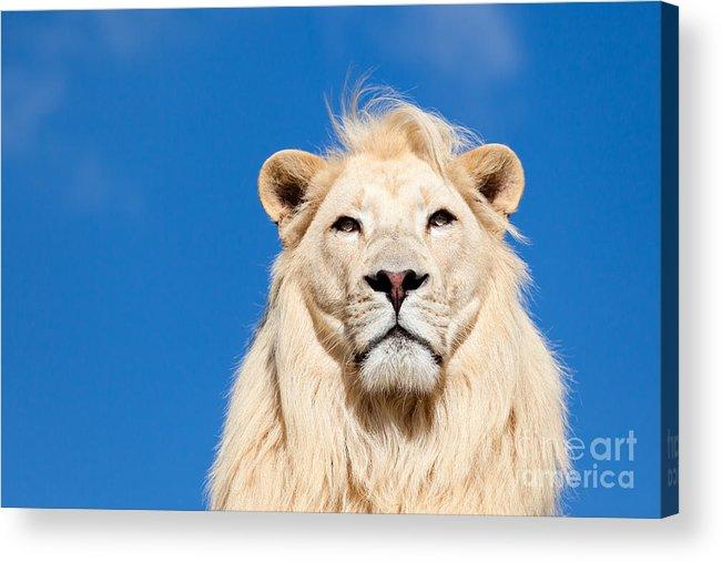 White Lion Acrylic Print featuring the photograph Majestic White Lion by Sarah Cheriton-Jones