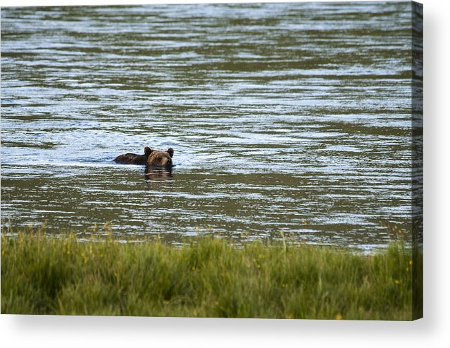 Grizzly Bear Acrylic Print featuring the photograph Make Way by Chad Davis