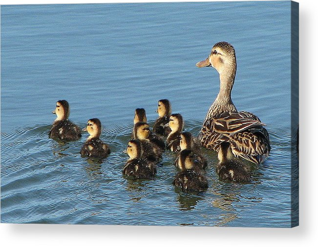 Ducks Acrylic Print featuring the photograph Make Way For Ducklings by T Guy Spencer