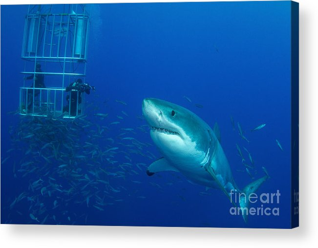 Carcharodon Carcharias Acrylic Print featuring the photograph Male Great White Shark And Divers by Todd Winner