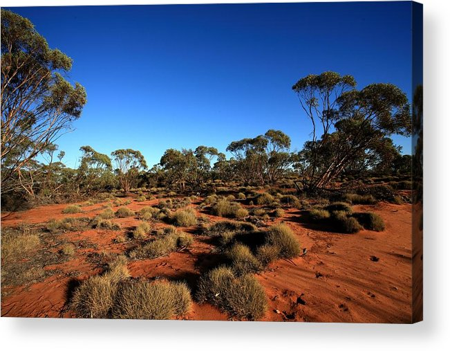 Mallee Acrylic Print featuring the photograph Mallee And Spinifex by Tony Brown