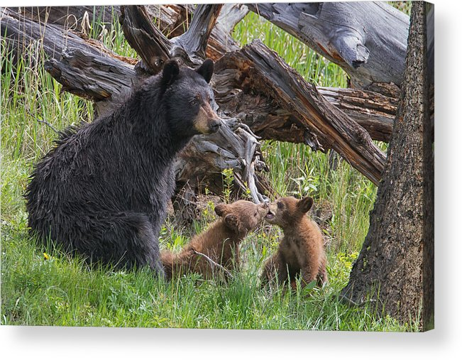 Yellowstone Wildlife Prints Acrylic Print featuring the photograph Mama Black Bear With Cinnamon Cubs by Martin Belan
