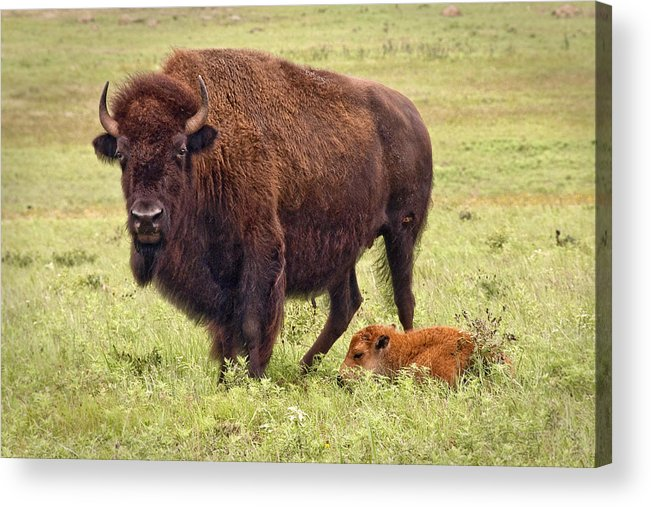 Buffalo Acrylic Print featuring the photograph Mama Watching Over Baby by Tamyra Ayles